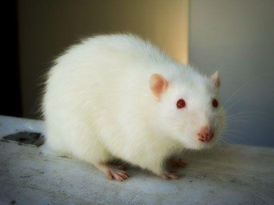 Rat  ♥ ♥ ♥