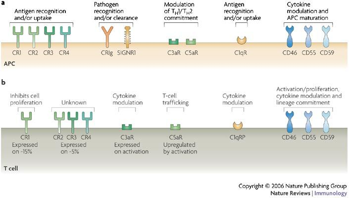 T Cell Regulation With Complements From Innate Immunity Antigen