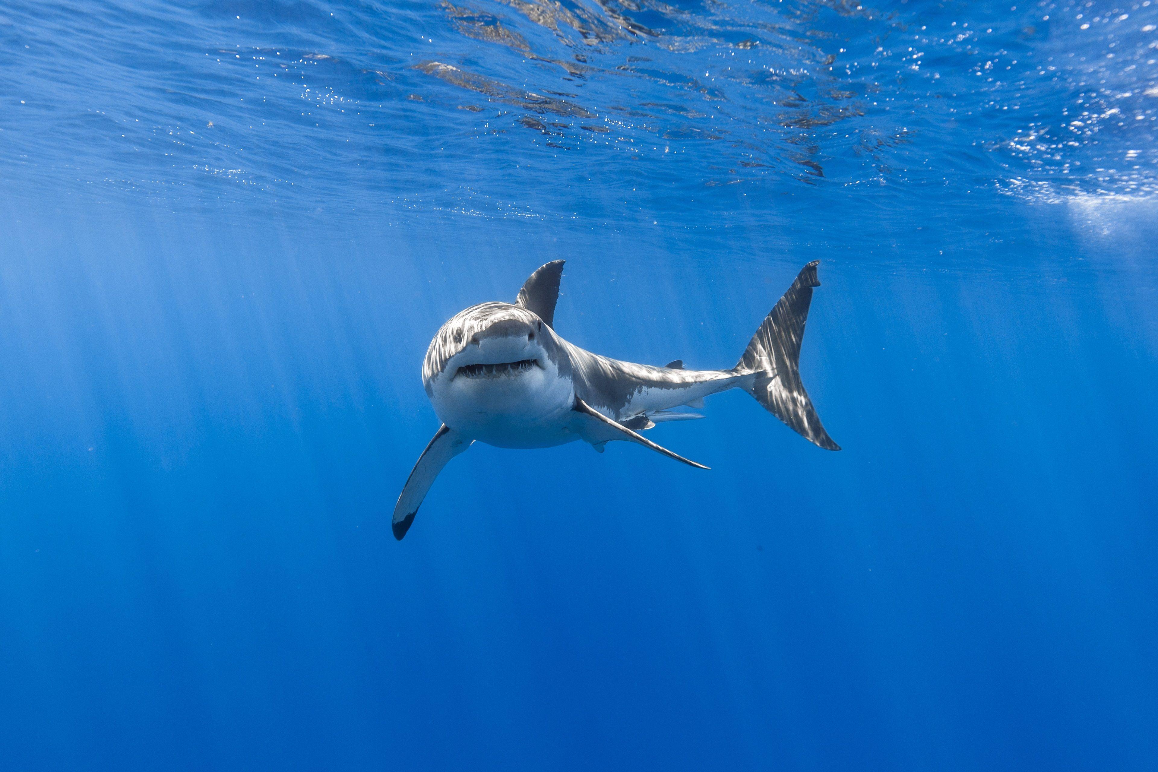 3840x2560 great white shark 4k desktop wallpapers hd free