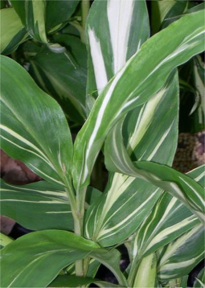 Zingiber Mioga Dancing Crane Japanese Ginger Mioga Ginger Family Zingiberaceae Originating From Japan Stunning Foliage Plants Plant Sale Plant Leaves