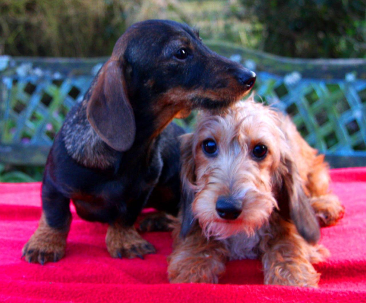 Miniature Wirehaired Dachshund Puppies Wire Haired Dachshund