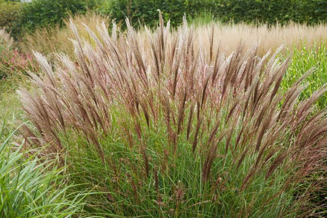 Miscanthus Sinensis Yakushima Dwarf Maiden Gr Eulalia Drought Tolerant Plant Ornamental Morning Light