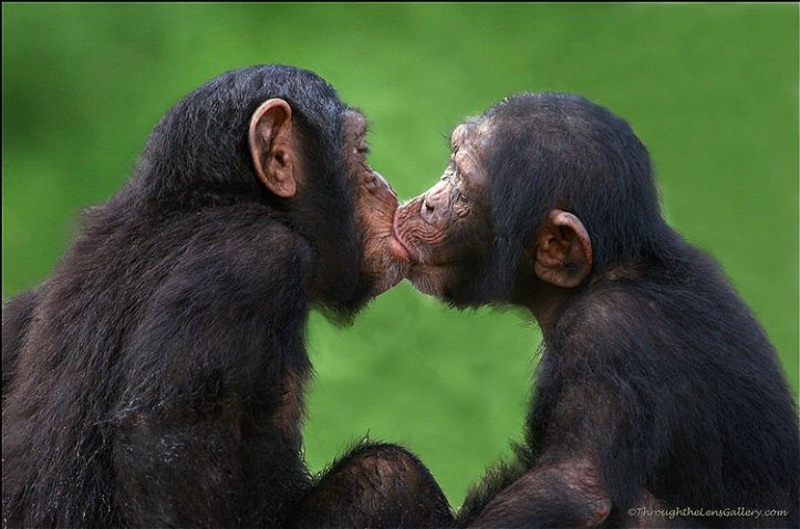 Image result for monkeys kissing