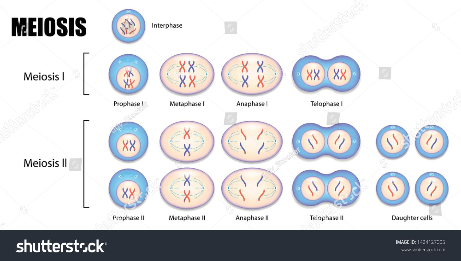 Diagram Of Meiosis Process Cell Division Ad Affiliate Meiosis Diagram Process Division In 2020 Meiosis Cell Division Cell Diagram