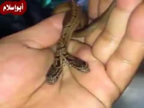ثعبان متوحش له راسين يتحرك بهم سبحان الله Youtube Lizard
