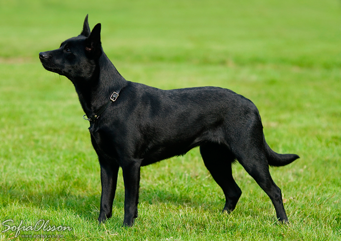 Australian Kelpie Australian Kelpie Australian Sheep Dogs Dog Breeds