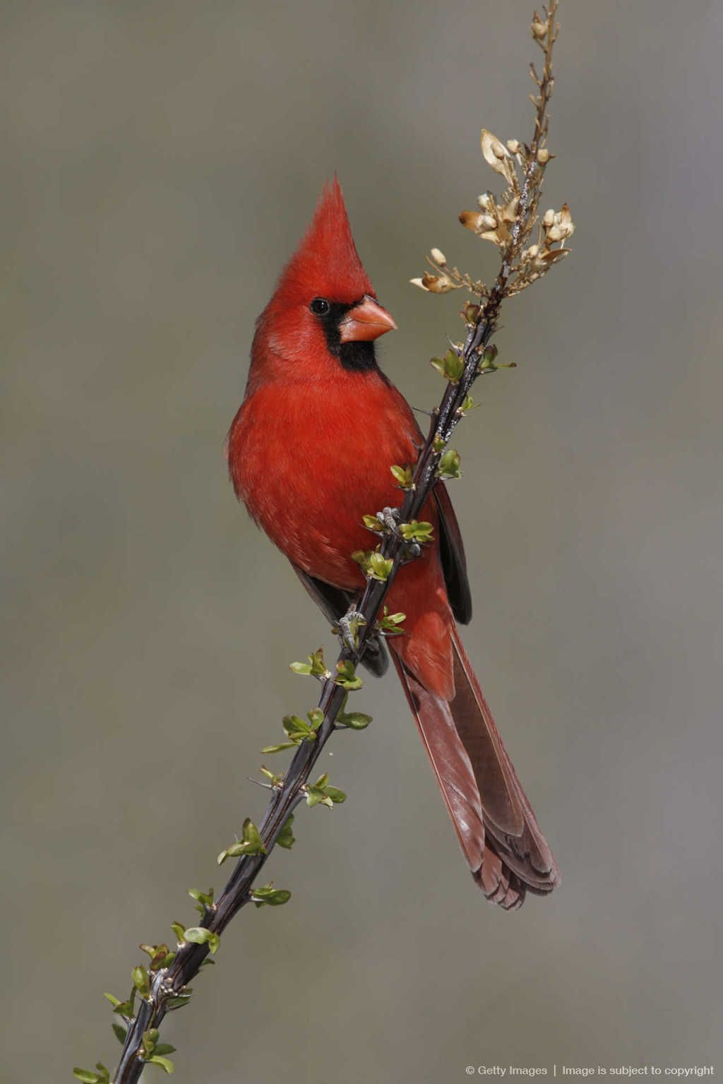 northern cardinal state bird of north carolina