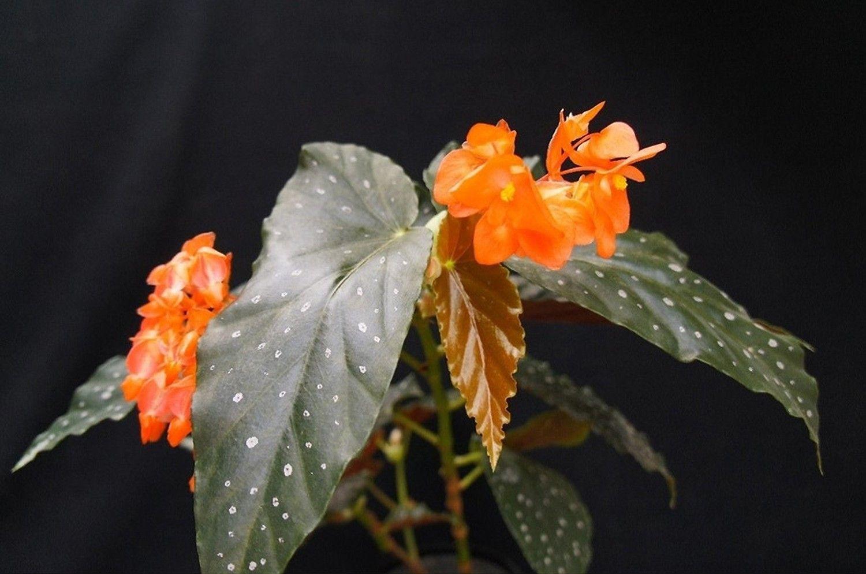 Begonia Mandarin Orange Begonia Orange Flowers Plants