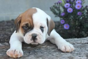 Olde English Bulldog Puppies For Sale In Pa Www Network34 Com Dogsbreed Olde English Bu Olde English Bulldog Puppies English Bulldog Breeders Bulldog Puppies