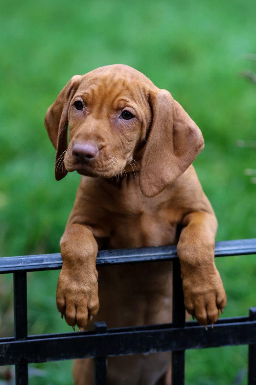 Pin By Annika Reichert On Animals Dog Breeds Dogs Vizsla Dogs