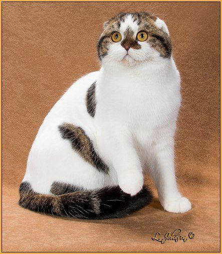 18th Best Cat In Premiership Gp Nw Amber Snow Vanilla Bean Of Snotoz Brown Tabby White Shorthair Scottish Fold Scottish Fold Cats Cool Cats