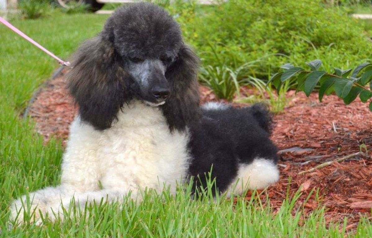Akc Standard Poodle Puppies In Daytona Beach Florida Hoobly