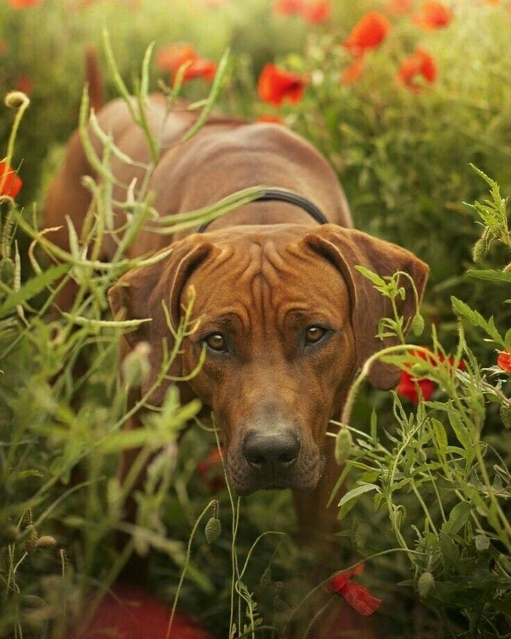 The Rhodesian Ridgeback Is A Dog Breed Developed In Rhodesia Its