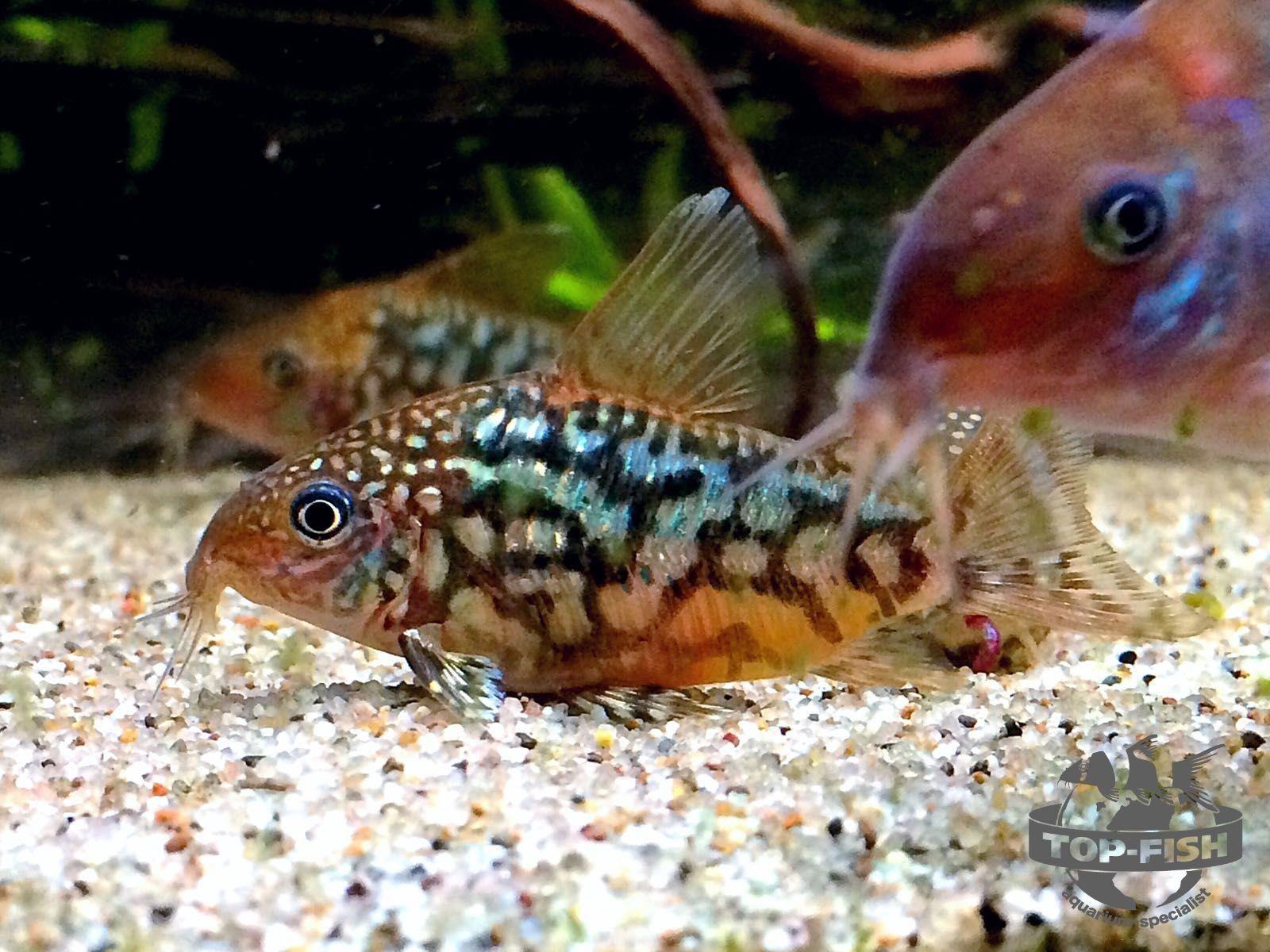 Corydoras Sp C005 Pantanalensis Tropical Fish Aquarium Freshwater Aquarium Fish Aquarium Fish