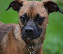 Lindsey Pug Rescue Of Austin Adopt A Pug Pug Rescue Pugs For