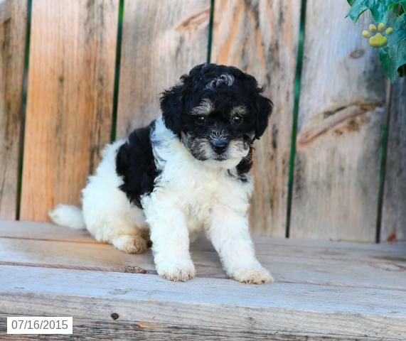 Kelly Cavapoo Puppy for Sale in Millersburg, OH