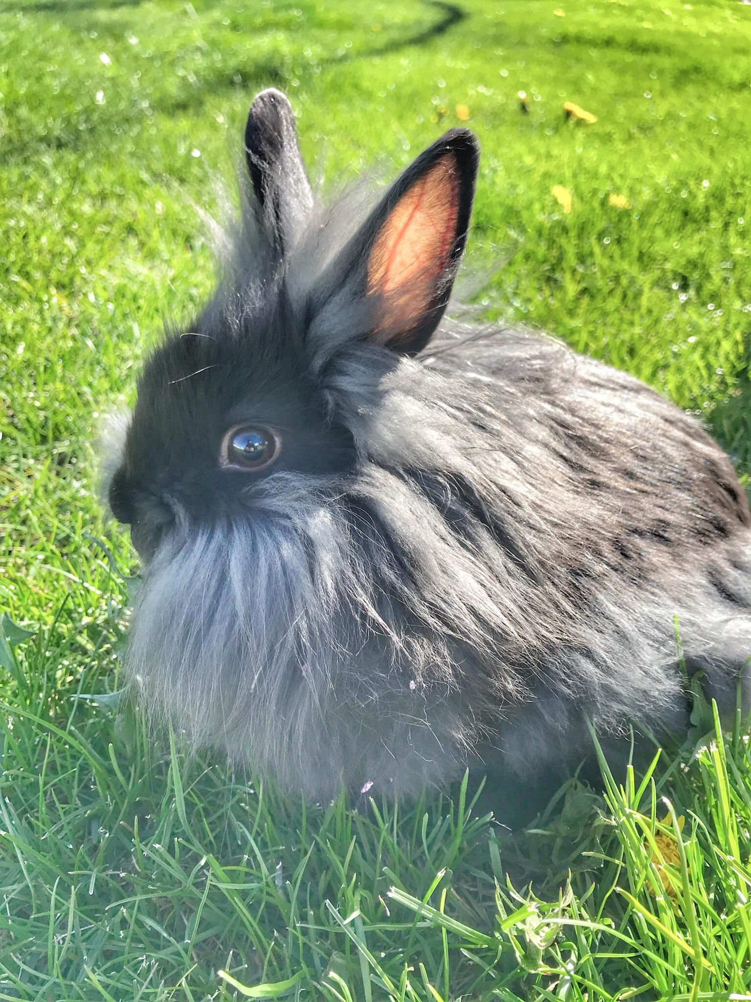 Our new dwarf lion head bunny. His name is ALLhttps//i