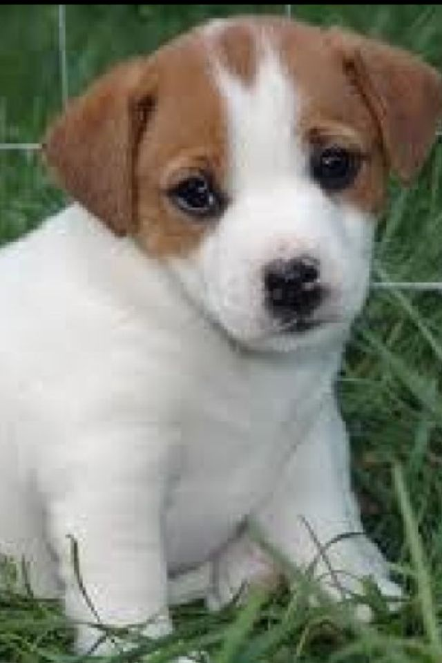 Pin By Susan Koontz On Cuddles Jack Russell Cute Puppies Jack Russell Terrier Puppies