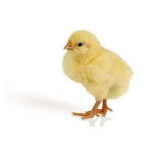 baby chick - I think it would be great to have a live chick on his ...