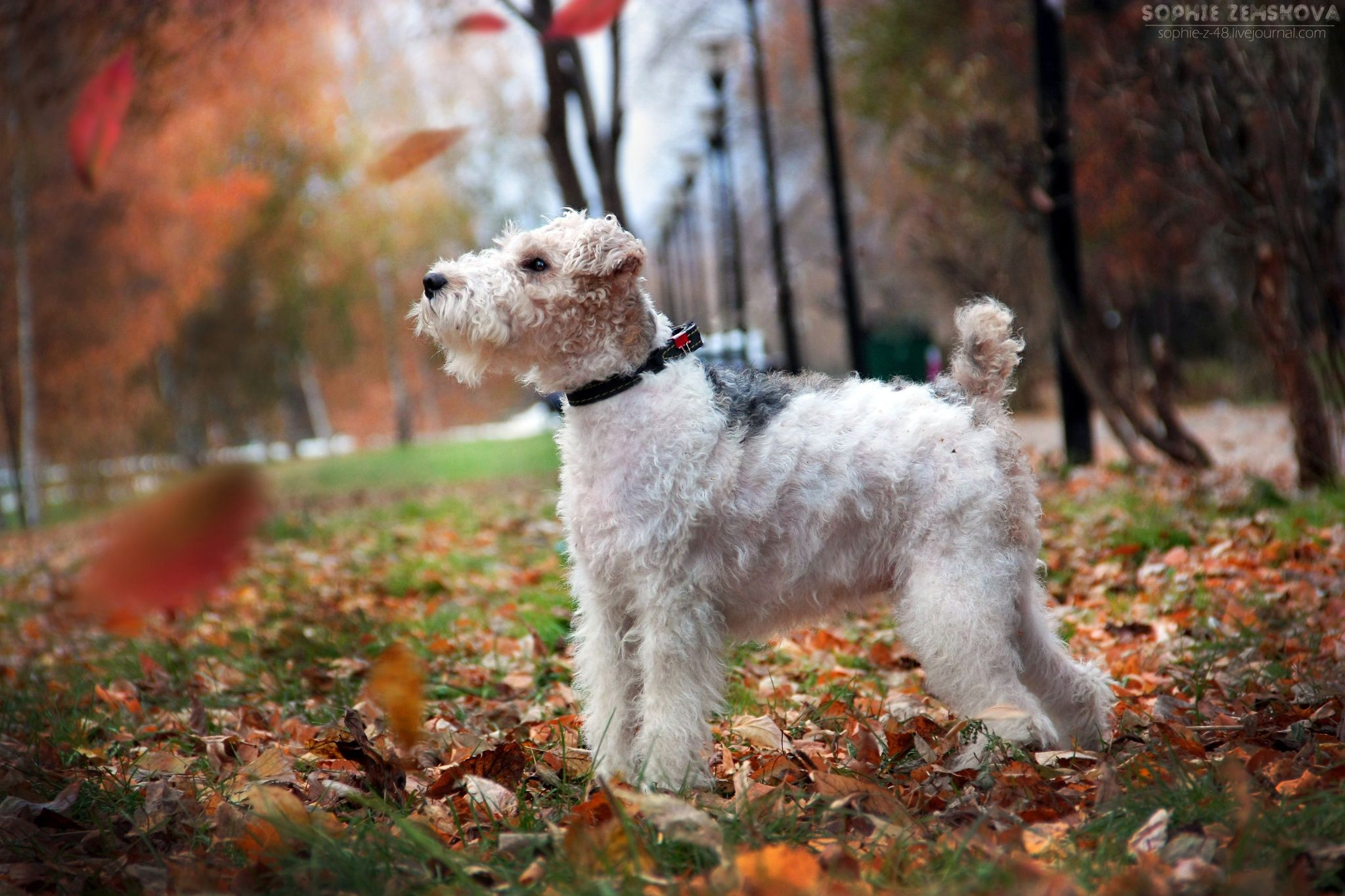 Fox Terrier wire haired by Sophie Zemskova on 500px