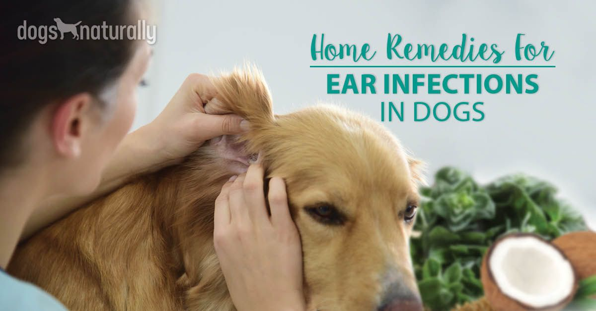 Dog Ear Infections Natural Remedies That Work Dogs Naturally Dogs Ears Infection Ear Infection Remedy Ear Infection