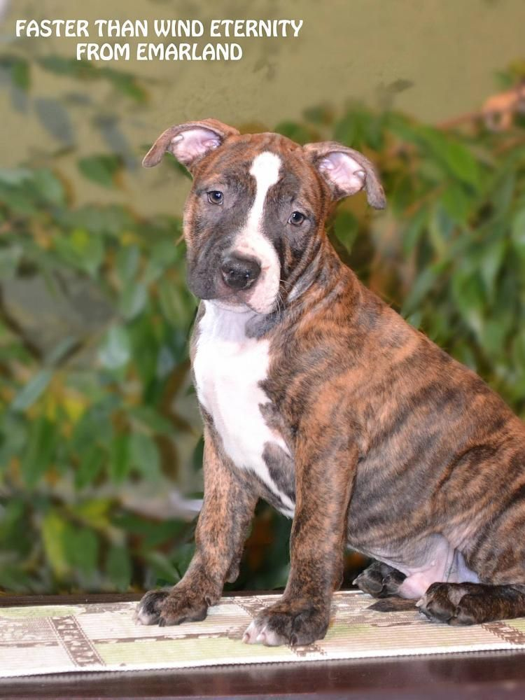 For Sale Faster Than Wind Eternity From Emarland Staffordshire Terrier Terrier Dogs American Staffordshire Terrier