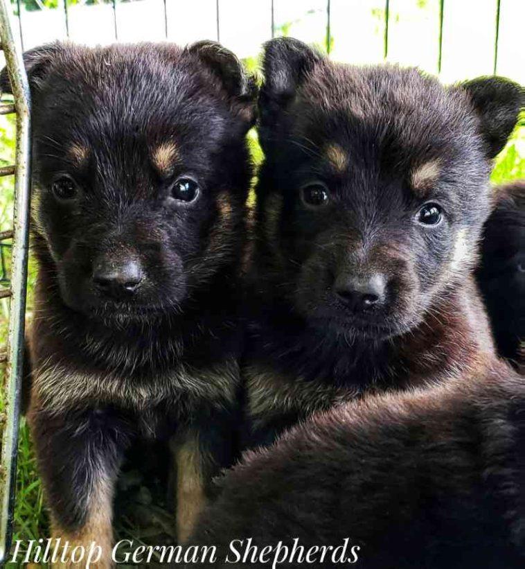 Black German Shepherd Puppies For Sale In Michigan Black German Shepherd Puppies German Shepherd Puppies Black German Shepherd