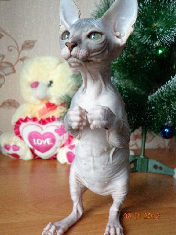 The Skin Of The Russian Donskoy Cat Is Soft And Warm