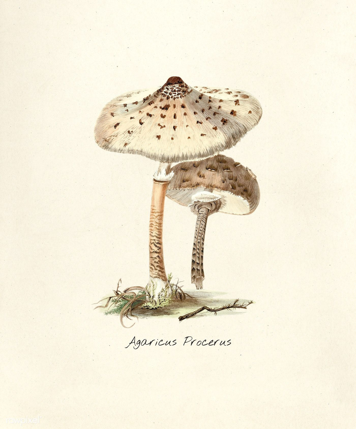 Antique illustration of Agaricus Procerus | free image by ...
