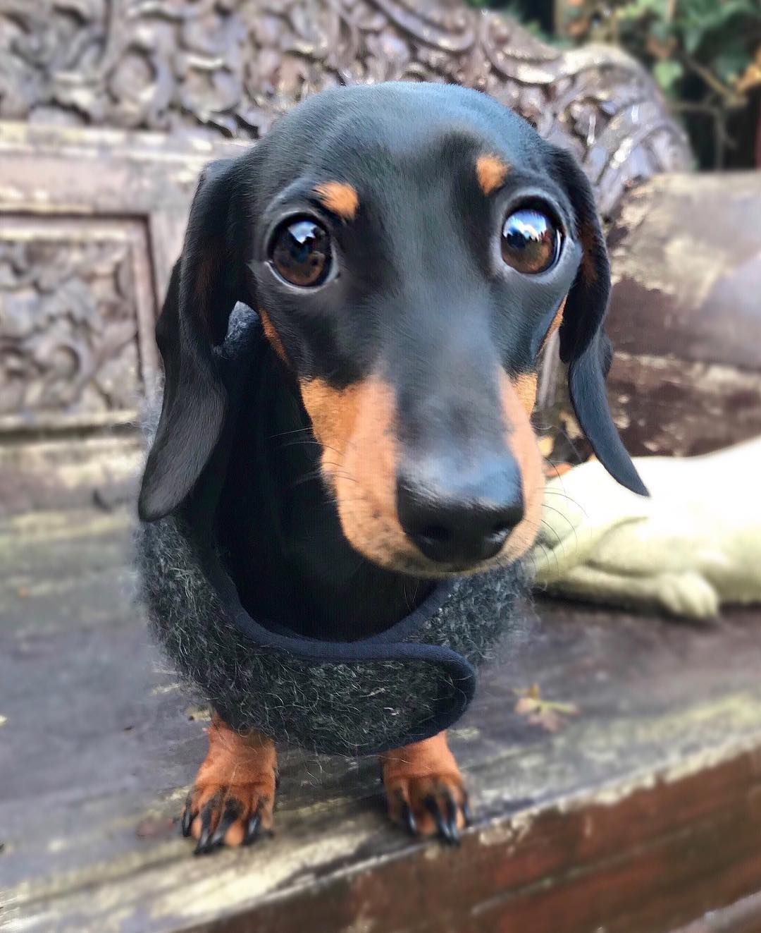 "Martha (martha_dachshund) on Instagram ""Please carry me"