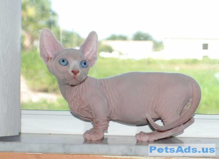 New Breed Of Sphynx Cat Munchkin My Virtual All The Pets Are