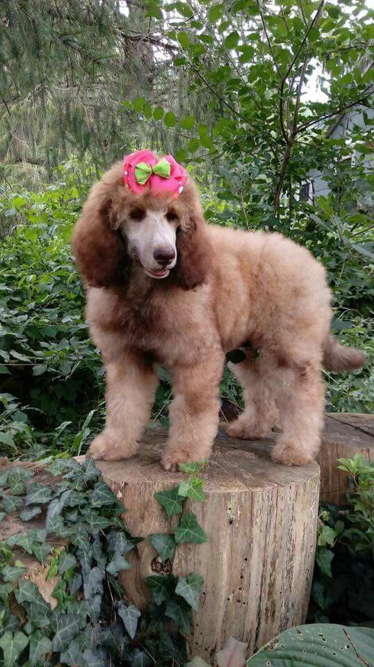 Pin By Randi Tarillion On Standard Poodles Standard Poodle Fur