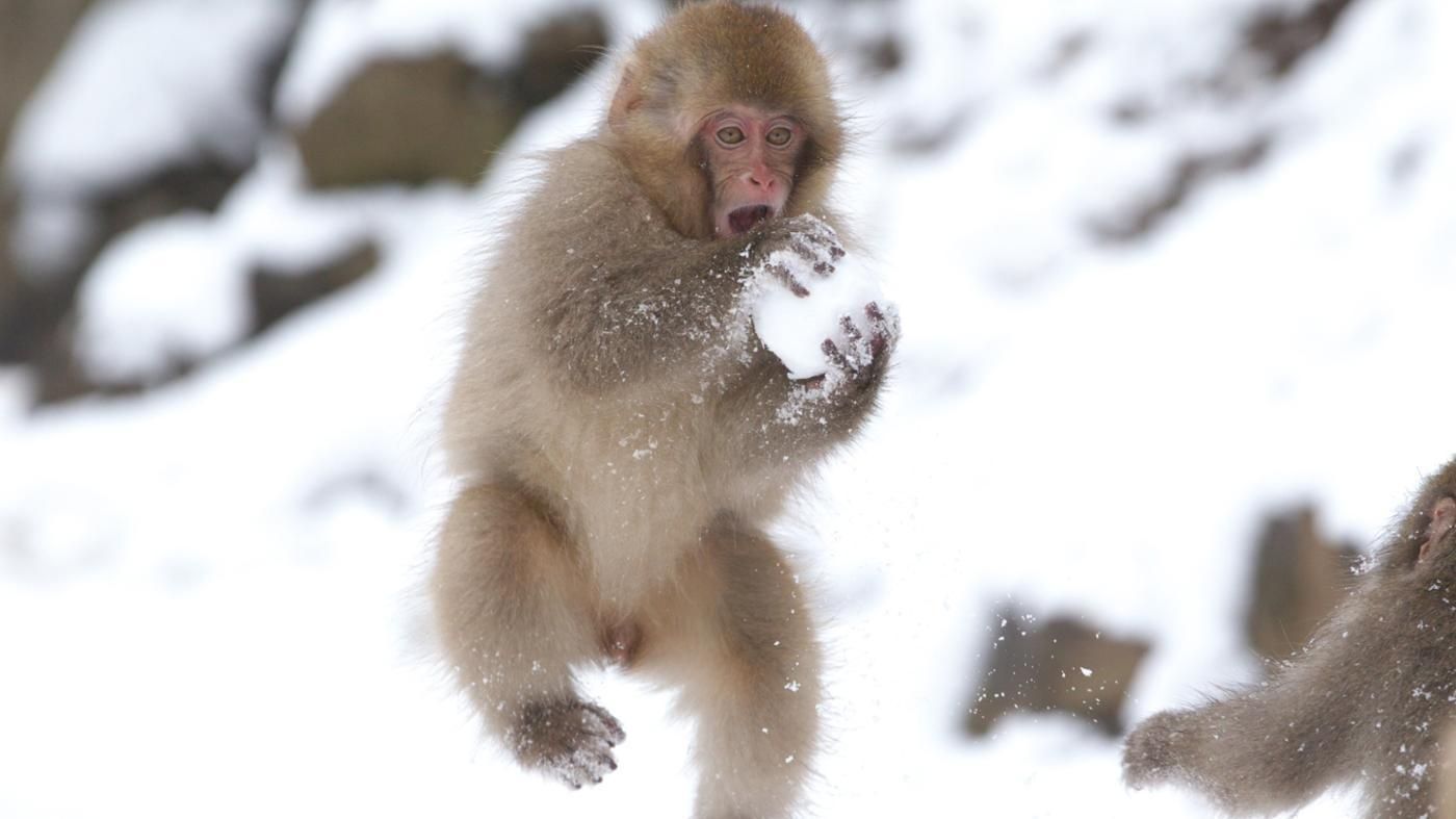 Slikovni rezultat za Japanese Macaques make snowballs for fun