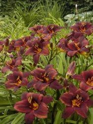 Hemerocallis ´Chocolate Candy´, daglilja Sort med mörkt brunröda blommor och lite ljusare kanter med mörkare mitt. För soliga rabatter eller i kruka på väldränerade jordar. Blommar juni-juli, höjd 60 cm.