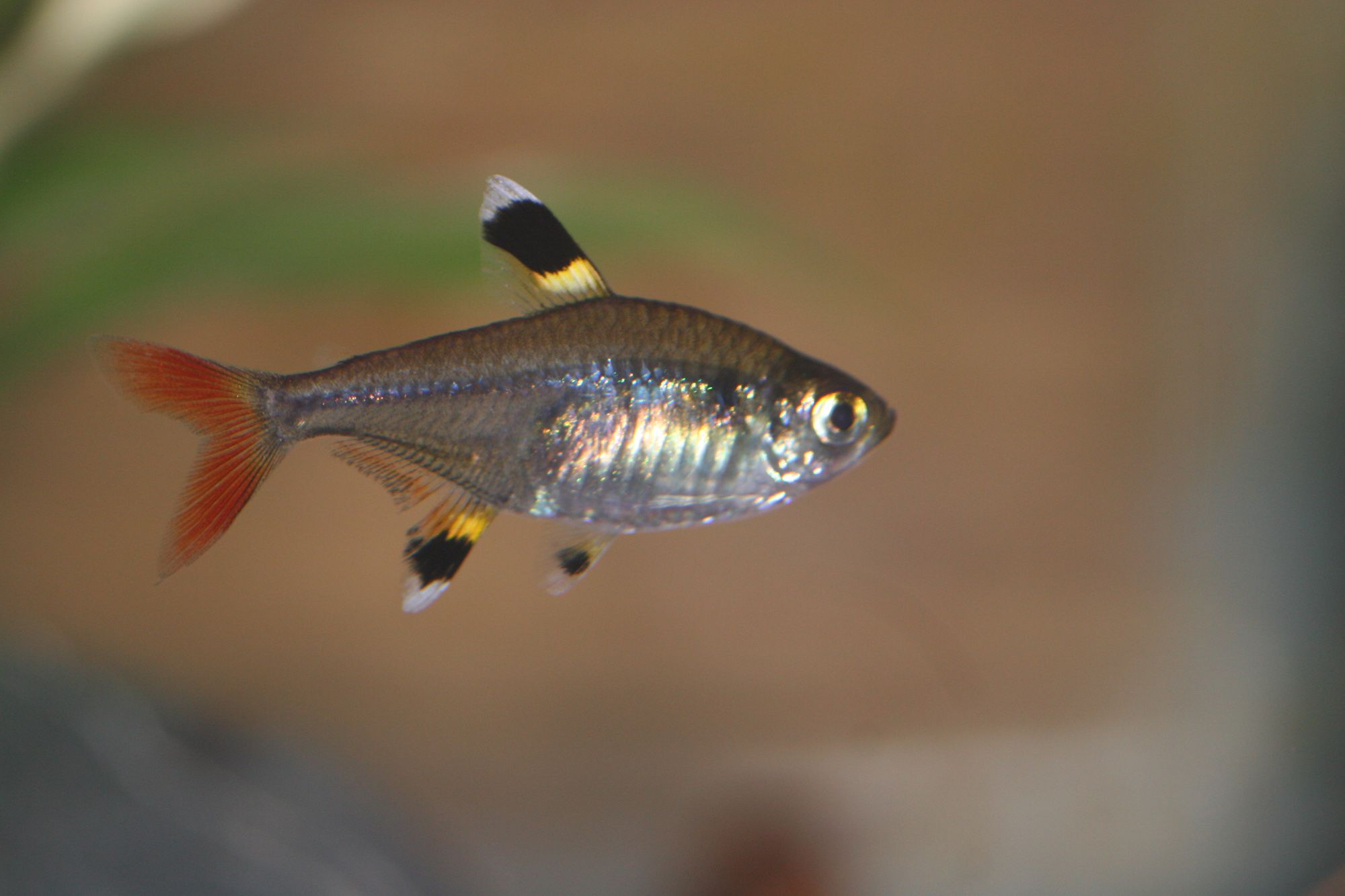 Freshwater aquarium fish silver with red fins - Explore Freshwater Aquarium Fish Fish Aquariums And More