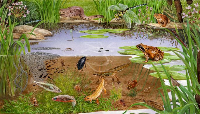 pond life field guide