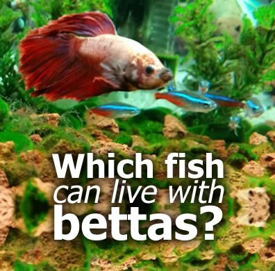 What fish can live with bettas betta fish betta and fish for What fish can live with bettas