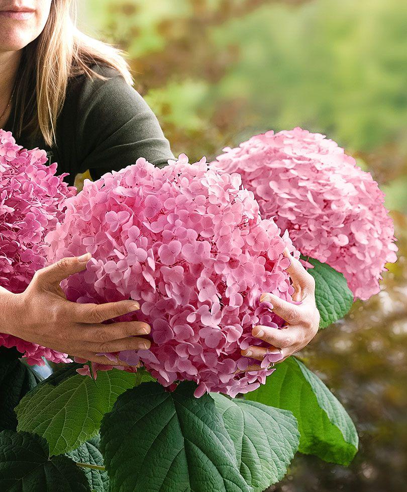 hortensia 39 pink annabelle 39 specials bakker hillegom tuin en kamerplanten pinterest. Black Bedroom Furniture Sets. Home Design Ideas