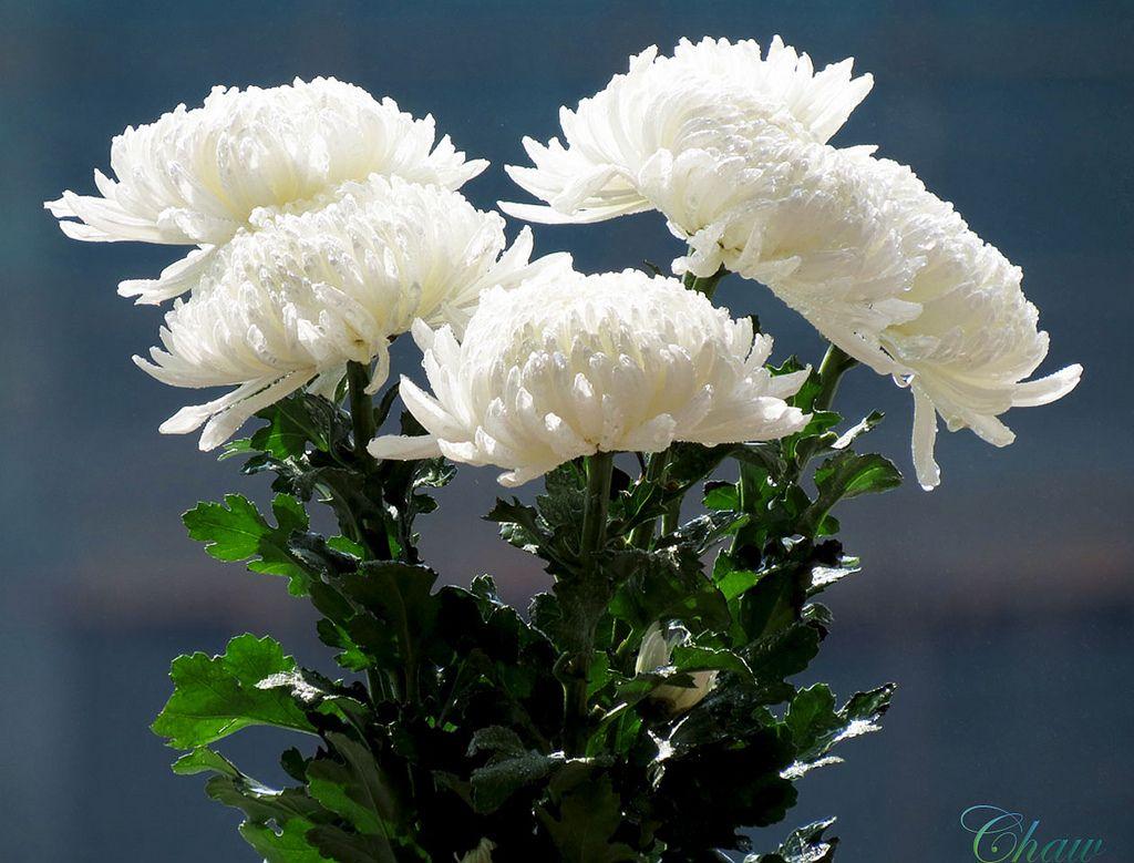white chrysanthemum - Google Search