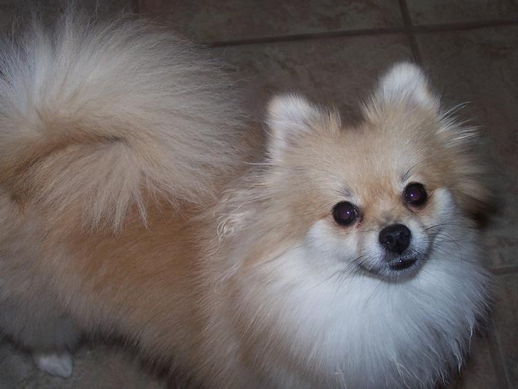Cinnamon The Pomeranian Dog Heaven Puppy Pictures Pomeranian