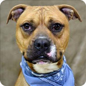Westland Mi Boxer Bulldog Mix Meet Wrigley A Dog For Adoption Http Www Adoptapet Com Pet 16765515 Westland Michiga Boxer Mix Dog Adoption Boxer Bulldog