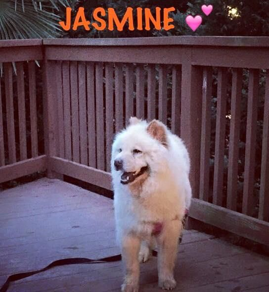 Meet JASMINE, a Petfinder adoptable Chow Chow Dog | Dix Hills, NY | Jasmine is a 3 year old cream chow owner surrender that was hit by a car. She has a fractured...