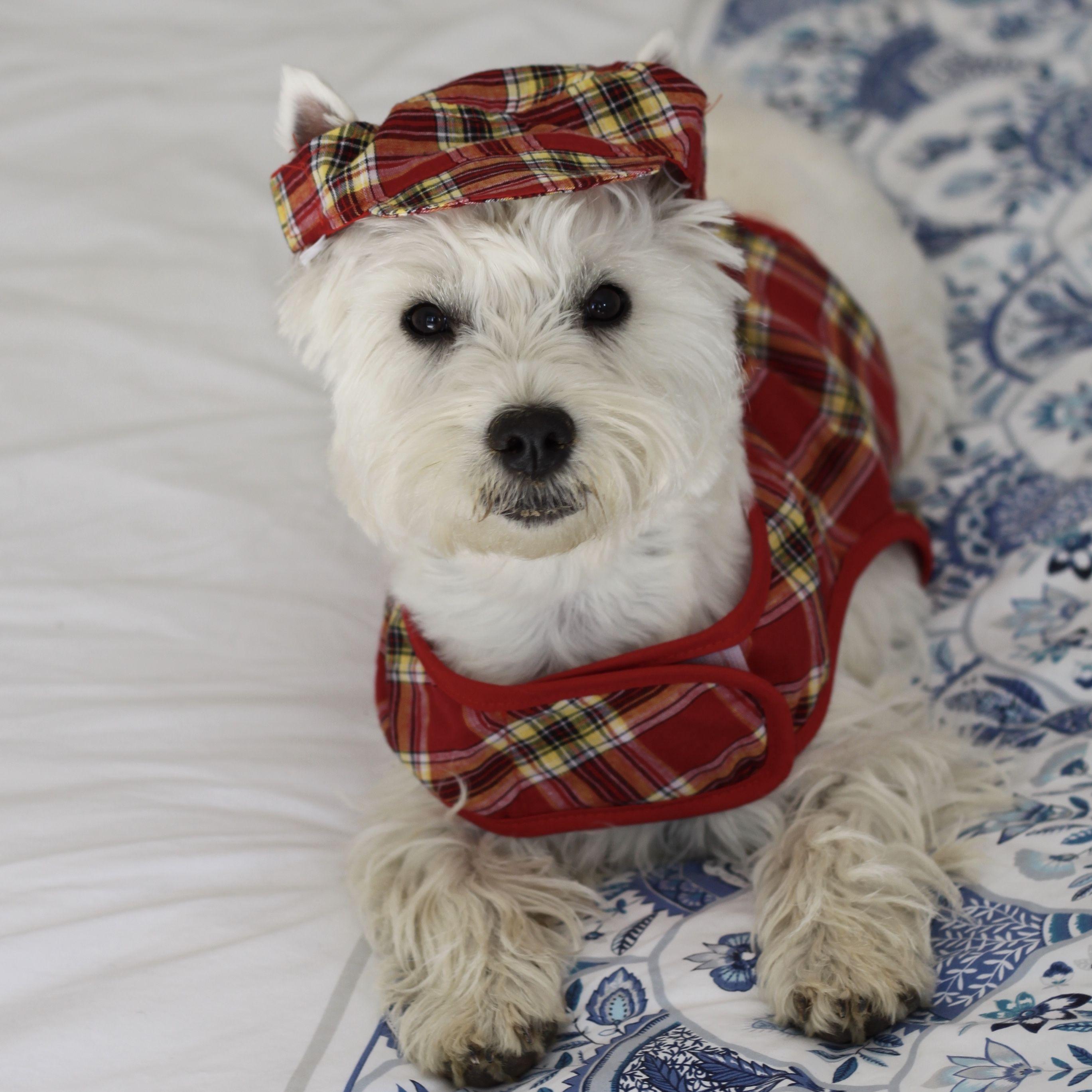 Westie Romy Puppy 9 Months Westies