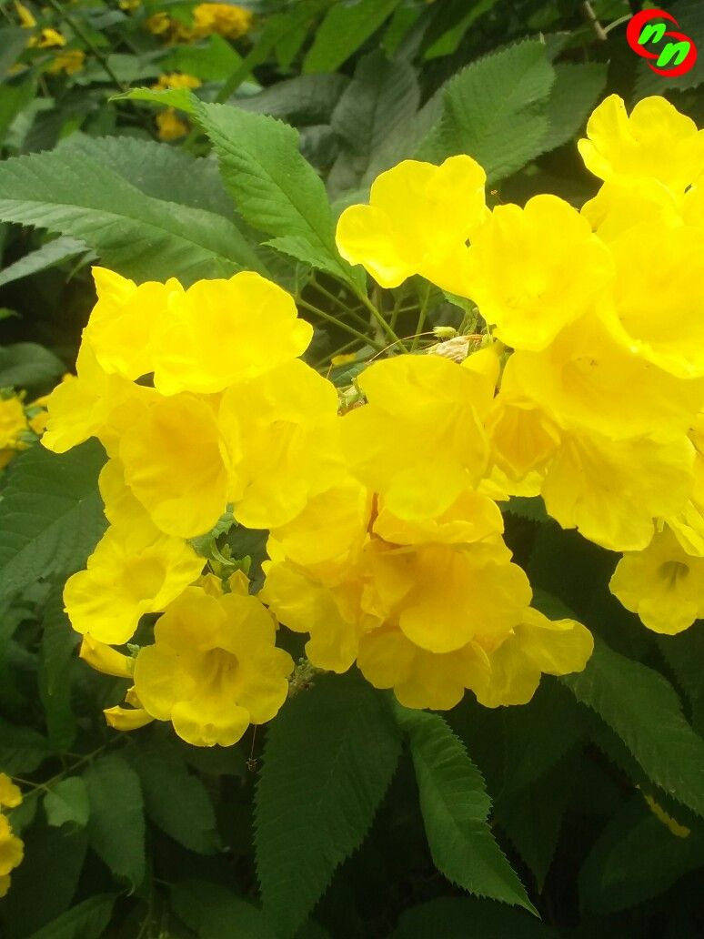 The Yellow Elder Flower Yellow Bells Tecoma Stans Devotional