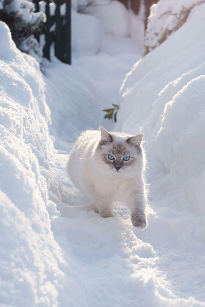 Un bello gato blanco camina sigiloso por la nieve... | MIAU ...
