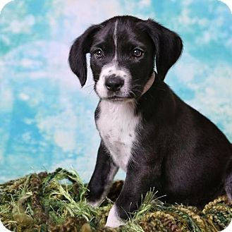 Danbury Ct Labrador Retriever Beagle Mix Meet Wesley A Puppy