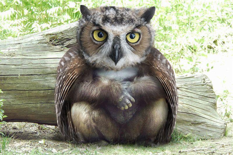 Толстая сова картинка