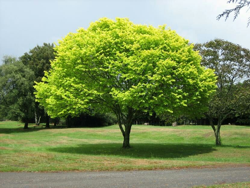 Amo Los árboles Que Dan Buena Sombra En Verano Como éste árboles De Sombra Arboles Para Sombra Jardín De Sombra