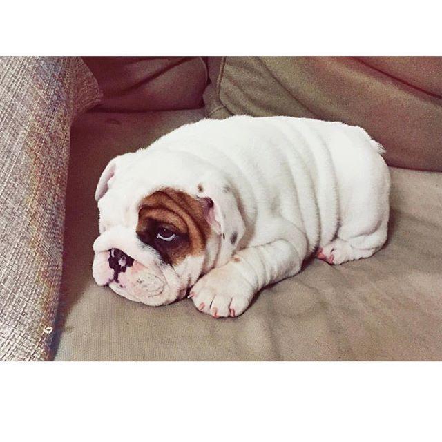 Sweet #Bulldog