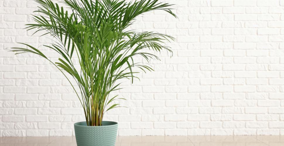 Areca entretien arrossage et rempotage palmiers